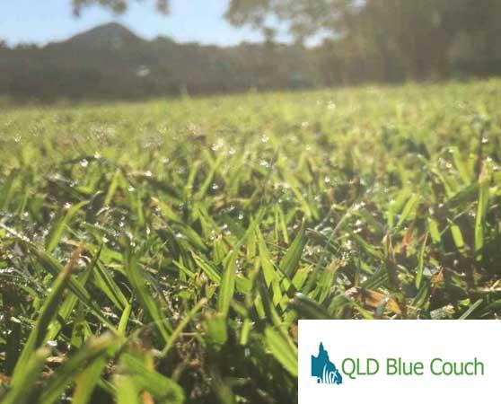 bribie island qld blue couch turf supplier