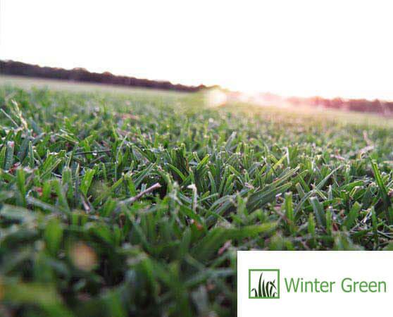 bribie island wintergreen turf supplier